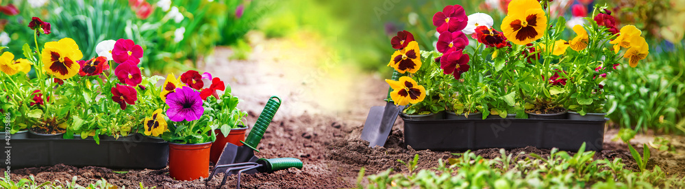 Fototapeta Planting a flower garden, spring summer. Selective focus.