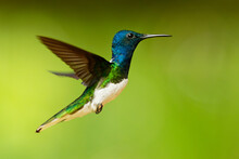 White-necked Jacobin - Florisuga Mellivora Also Great Jacobin Or Collared Hummingbird, Mexico, South To Peru, Bolivia And South Brazil, Tobago And Trinidad, Flying And Feedind Bird