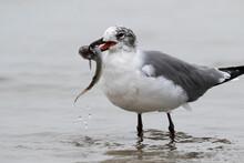 Laughing Gull (Leucophaeus Atricilla) Working On A Catfish With A Sharp Spine, Galveston, Texas, USA.
