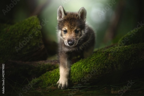 Wolf cub in the forest. Fototapeta