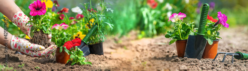 Fotografie, Tablou The gardener is planting a flower garden. Selective focus.