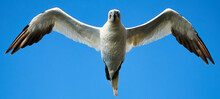 Low Angle View Of Gannet Flying Against Clear Blue Sky