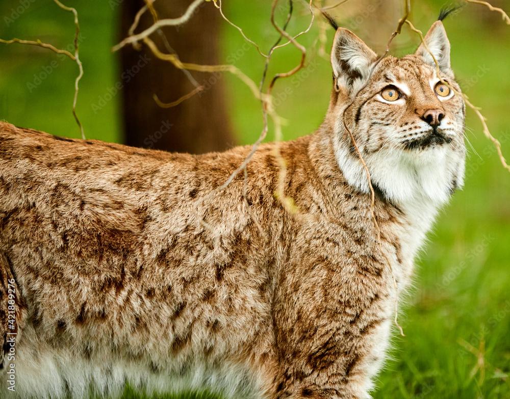 Fototapeta Lynx Portrait