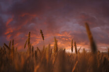 Spikelets Of Wheat On Sunset