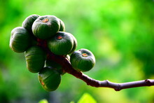 Lots Of Figs In A Fig Tree, Green Figs With Blurred Green Background
