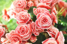 Summer Blossoming Delicate Begonia Flowers, Garden Blooming Festive Background, Selective Focus, Shallow DOF, Toned