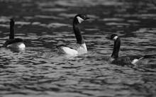 Gänse Auf Einem See Schwimmend, Kanadagans, Kanadagänse, Branta Canadensis