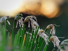 Agapanthus Seeds On Green Stems Backlit By Golden Bokeh
