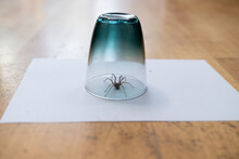 Caught Common House Spider Under A Drinking Glass Wooden Floor Seen From Ground Level In Living Room