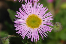 Erigeron Daisy Isolated Against A Green Background
