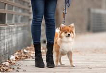 A Pomeranian Dog On A Walk