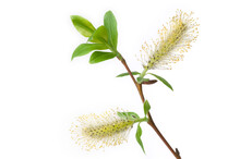 Willow Branch With Flowering Male Catkins, Isolated On White Background.
