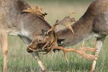 Two Fallow Deer Stags Locking Antlers