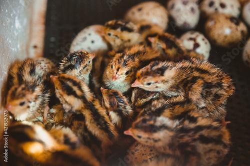 Fotografija Many Quail Chicks Huddle Together In The Incubator