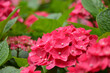 Leinwandbild Motiv 赤いアジサイの花