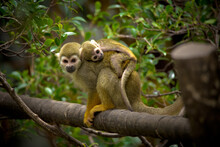 Squirrel Monkey Carrying Baby On It's Back