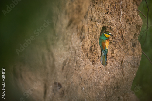 Fotografering Colorful Bee Eaters Birds In Springtime.