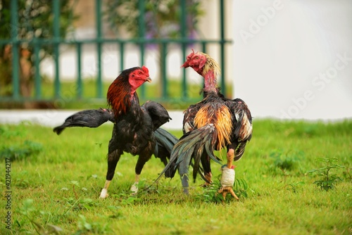 Close-up Of Rooster On Field Fototapete
