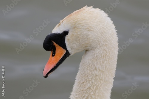 Canvas Print Close-up Of Swans Head