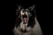 Collie Dog Catching A Treat Isolated Against A Black Background