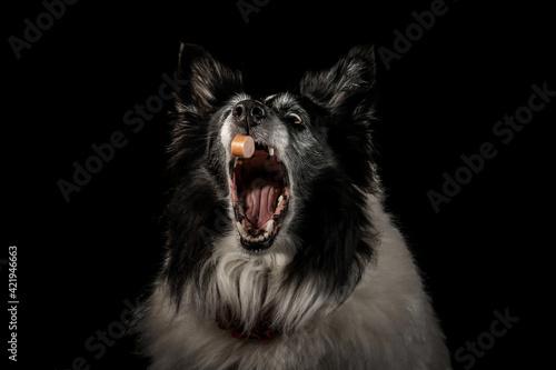 Fotografie, Obraz Collie Dog Catching A Treat Isolated Against A Black Background