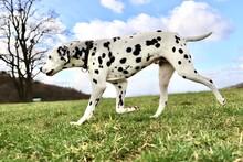 Dalmatian Walking In The Blue Sky