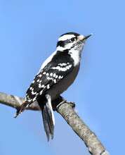 Downy Woodpecker On The Tree Trunk