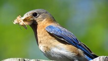 Close Up Of Eastern Bluebird With Moth In Mouth For Fledgling Selective Foreground Focus