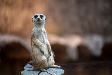 Meerkat Wildlife Animal