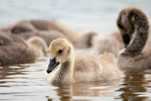Young Swan In Water
