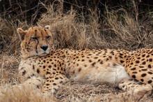 Cheetah Relaxing In African Plains