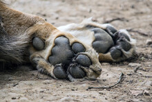 Close-up Of A Sleeping Lion, Paws