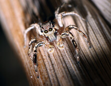 Macro Photo Of Jumping Spider On Brown Moss With Lots Of Hair Big Eyes, Spider Close Up