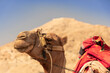 canvas print picture - Camel Outside