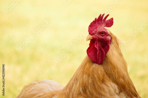 Close-up Of Rooster On Field Fototapet