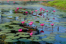 Pink Lotus Flower On Pond On Thailand.
