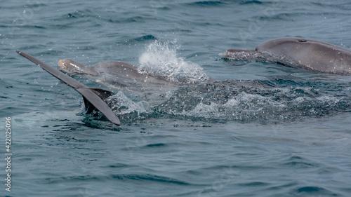 Slika na platnu Playfull Dolphins in Kisite in Diani