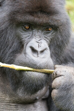 Close-up Of Gorilla Eating Stick