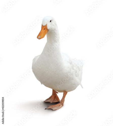 Photo Domestic duck isolated on white. Farm animal