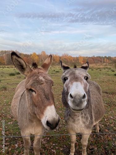 Fényképezés Portrait Of Donkeys On Landscape