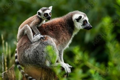 Obraz na plátně Lemur catta baby on the mother's back/Lemur catta baby and mother/Lemur Catta