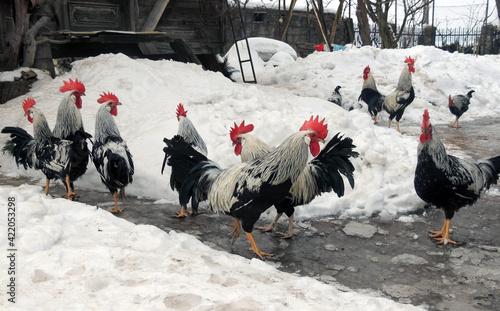 Vászonkép range chickens