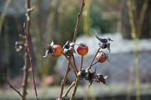 Beautiful Decaying Rose Hip In Winter, Plants In The Garden, Dried Roses Bush, Flora