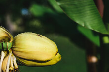 Close-up Of Banana Tree Blossoming Flower With A Bug On Top