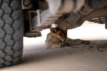 A Lion Cub Sleeping Under A Safari Vehicle