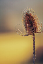 Teasel In A Orange Shade Of The Background. Ancient Useful Plants. Plants Not To Be Eaten. Plants For Combing.