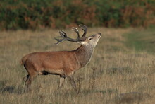 A Rutting Red Deer Stag