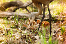 Mother And Baby Sandhill Crane Bird On Field Looking For Food