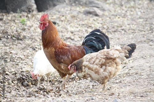 Close-up Of Rooster On Field Tapéta, Fotótapéta