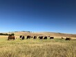 canvas print picture - Cows On The Mountain